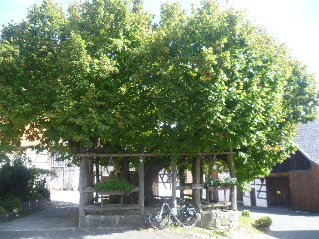 A typical dance linden tree in a village in the Fränkische Schweiz (Franconian Switzerland) region: the steep climbs up to the villages are manageable on mountain bikes.