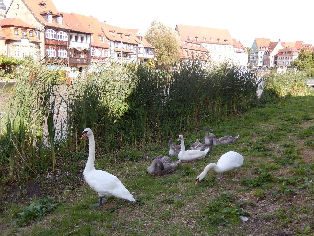 These contented swans like their surroundings in Bamberg's Little Venice on the Regnitz cycle route.